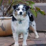 Australian Sheperd Puppy
