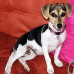 Maggie the Jack Russell Terrier