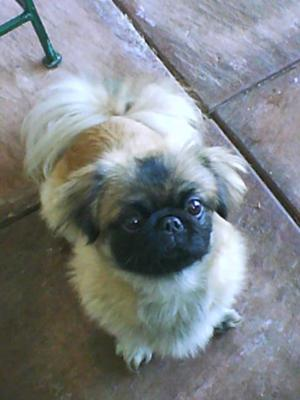 BJ the Pekingese Puppy - after we had them shaved.