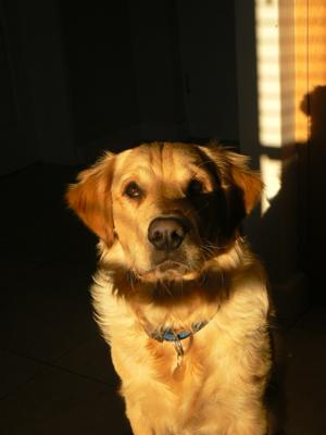 This picture of Dexter was taken one morning as the sun was rising. The sun lit up his golden coat beautifully against the dark background. One of my favourite photos.