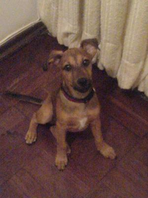 My Son-the Rhodesian Ridgeback crossed Terrier