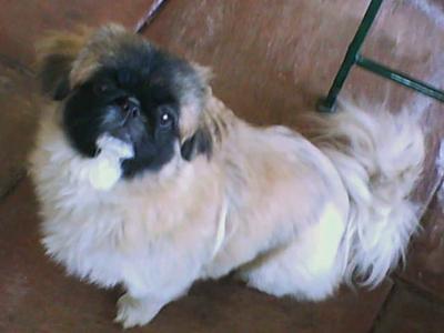 pekengese puppy