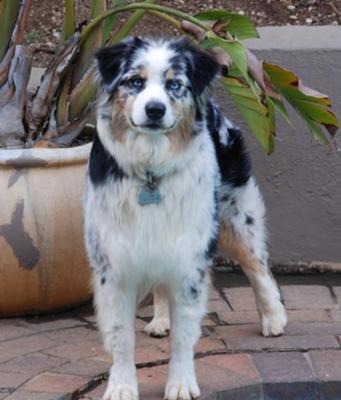 Jinx- an Australian Shepherd