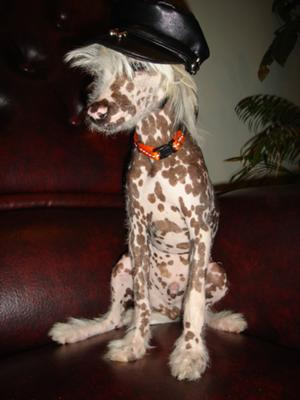 Mai-Tai the Chinese Crested