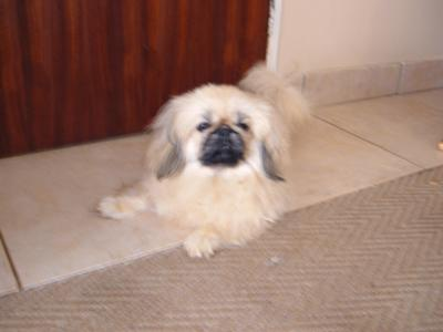 Teddy the Pekingese