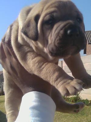 Cuddly Boerboel