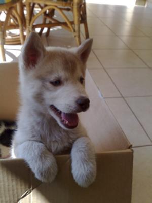 Bam-Bam The Siberian Husky