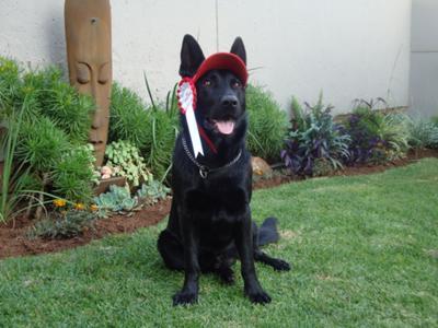 Bronx a GSD Dog