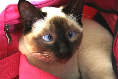 Hallo to all my fans! (Siamese Kitten)