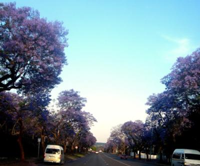 Jacarandas are in Full Bloom