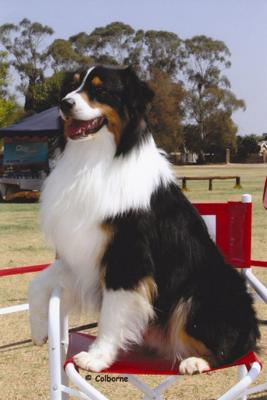 Ready for the Show Ring: Robaine the Australian Shepherd
